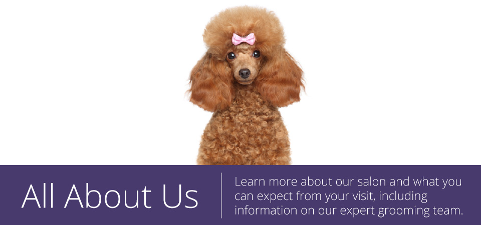 all about us - brown poodle